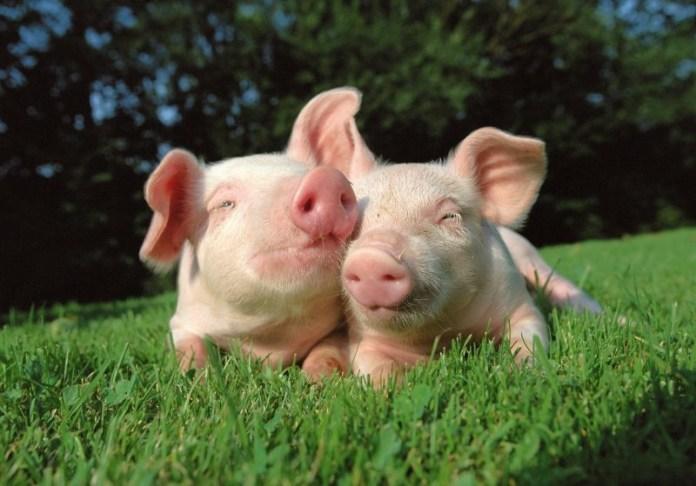 Надежная защита от африканской чумы свиней (АЧС)