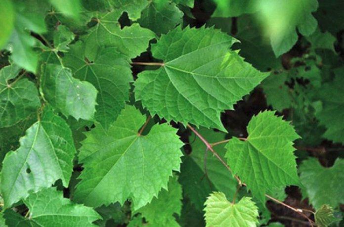 Лікувальні властивості виноградного листя