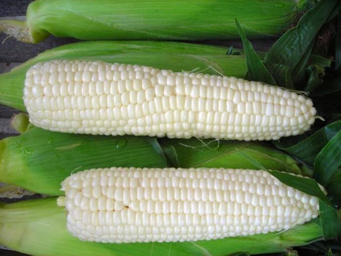 Біла цукрова  кукурудза — користь для споживача
