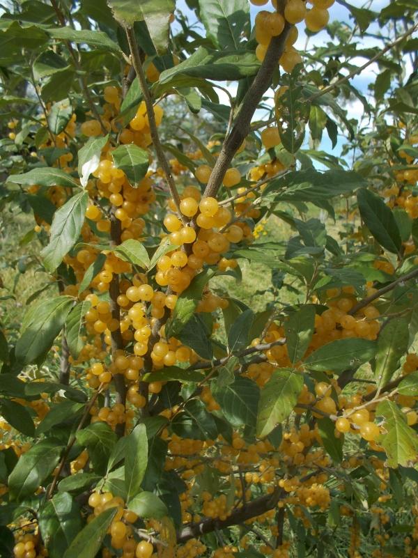 Осіння маслина: лікарська рослина зі смаком гранату