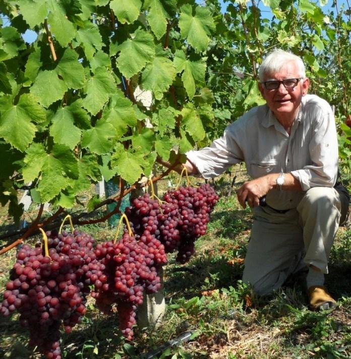 Нужны ли винограду зеленые операции? Мнение опытного виноградаря