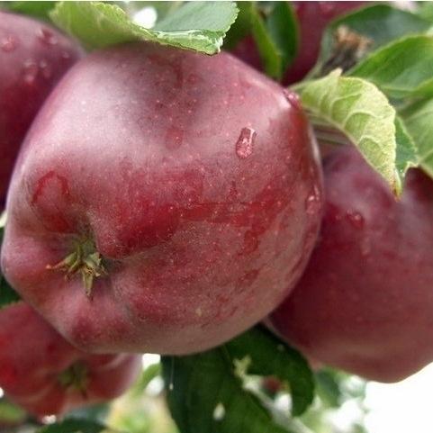 Сорта яблок для ленивого дачника