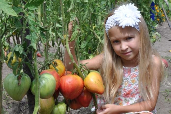 Днепропетровский селекционер рассказал о лучших сортах томата