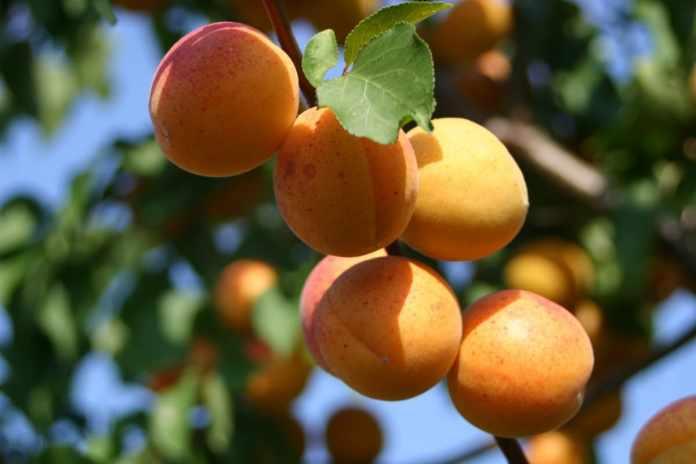 Тернопольский фермер выращивает персики и абрикосы с необычной формировкой
