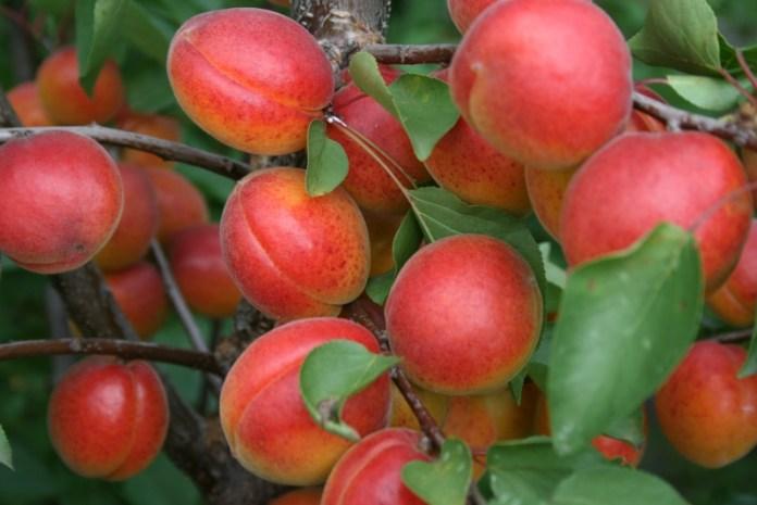 Какая формировка самая удачная для персика и абрикоса
