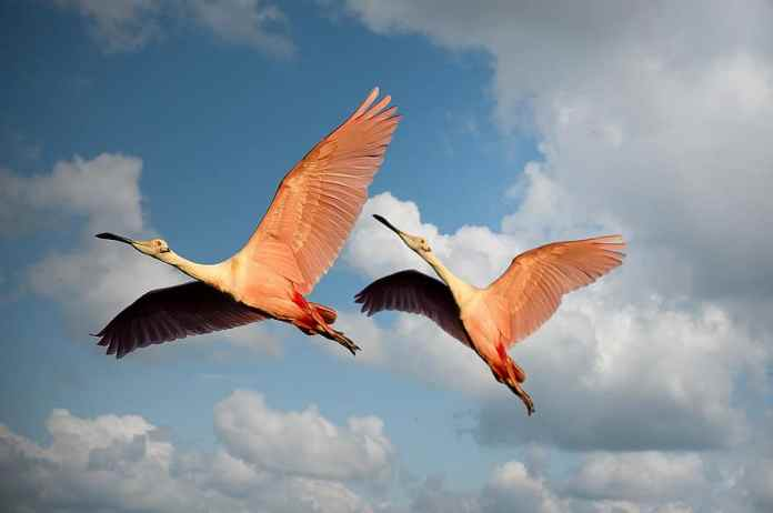 animals-flamingos-birds-couple-wings-flying-pink