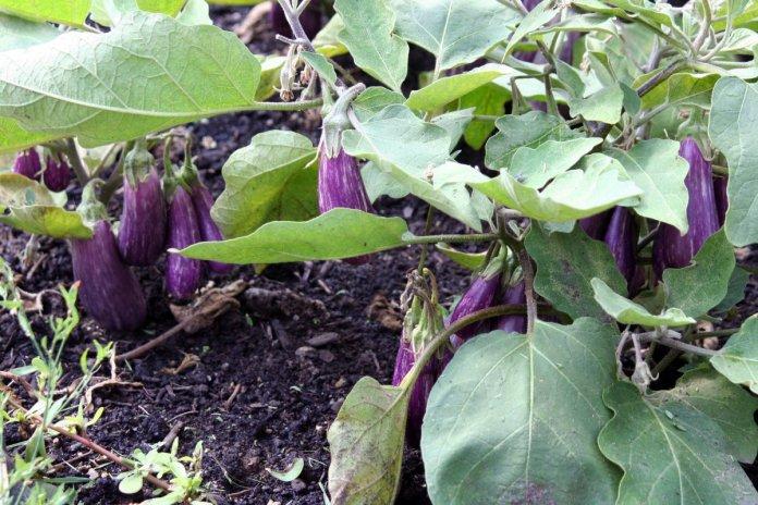 Вчений розповів, на яких ґрунтах баклажани дають рекордні врожаї