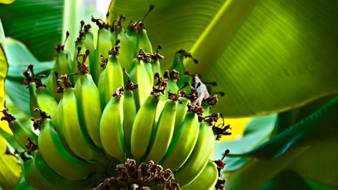 Что будет с бананами? Ученые сделали неутешительные прогнозы