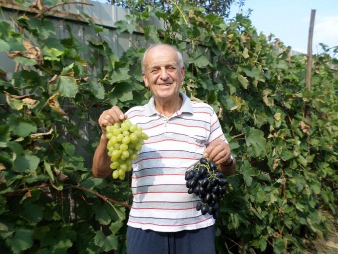 Прикарпатець назвав сорт винограду, який не боїться примх погоди
