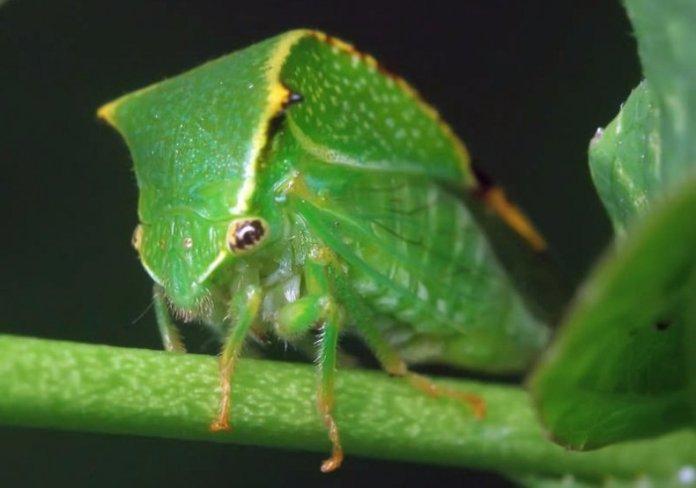 Як захистити яблуні від цикадки