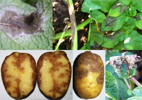 Чем лечить картофель от фитофтороза