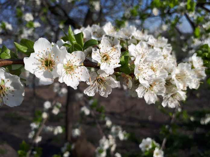 вишня цветущая