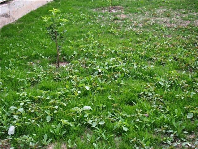 Как создать газон из сорняков