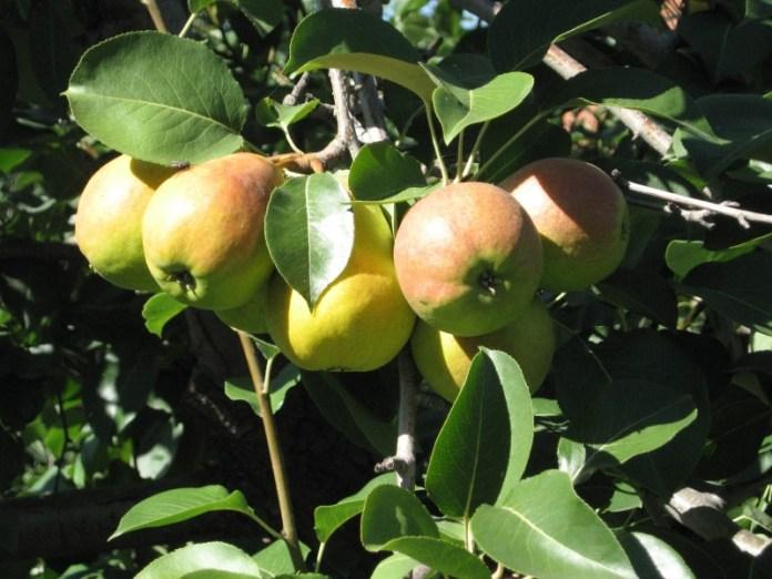 Обязательные агроприемы в грушевом саду