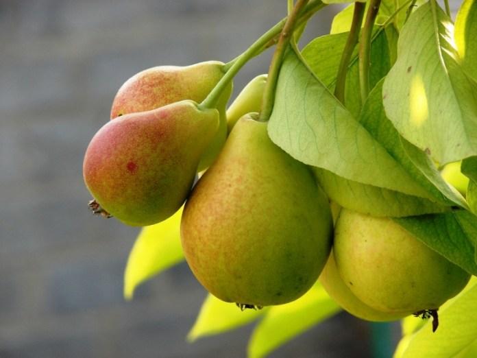Чому груші передчасно осипаються