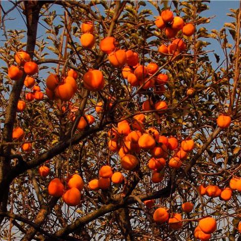 Запорізький садівник успішно вирощує різноманітні види і сорти хурми