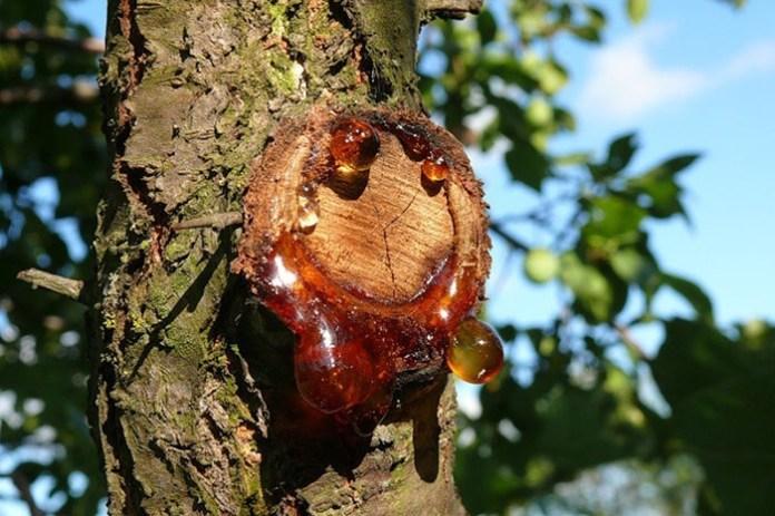 Если на деревьях появился клей