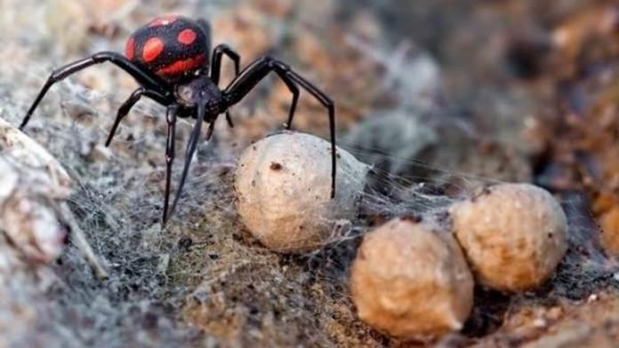 Почему в Украине все чаще встречаются ядовитые пауки?