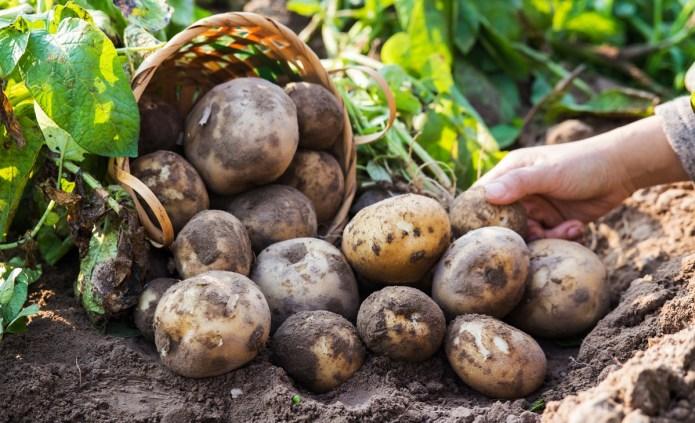 Картофель: как дожди влияют на цены