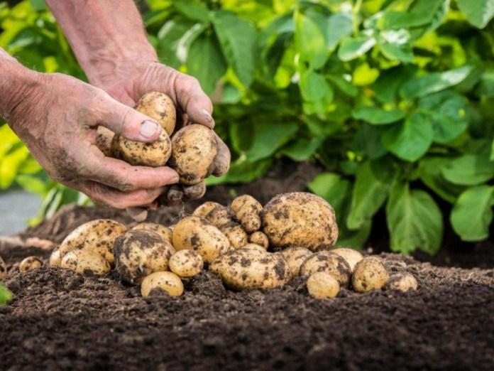 Лучший картофель для летней посадки