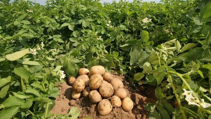 картофелеводство