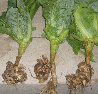 Как спасти капусту от килы