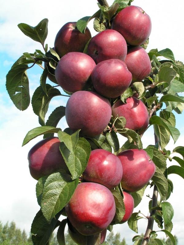Чем удобрить колонновидные яблони при посадке?