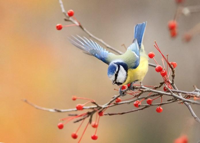 лазоревка птица