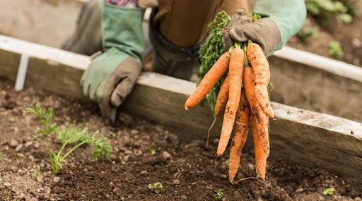 Херсонский фермер в январе посеял морковь