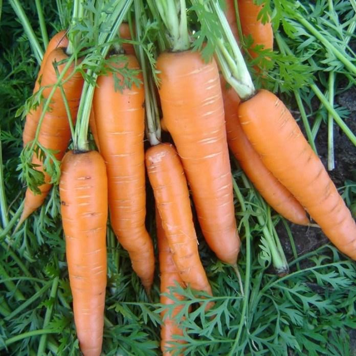 Лучшие предшественники для моркови