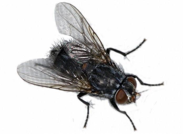 Так ли опасна домашняя муха?