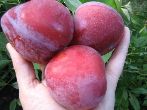 Почему слива Оцарк Премьер дает мелкие плоды?
