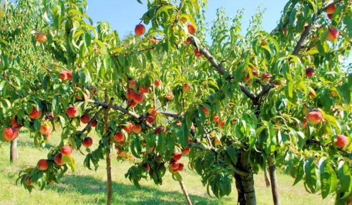 Как сформировать персик-долгожитель?