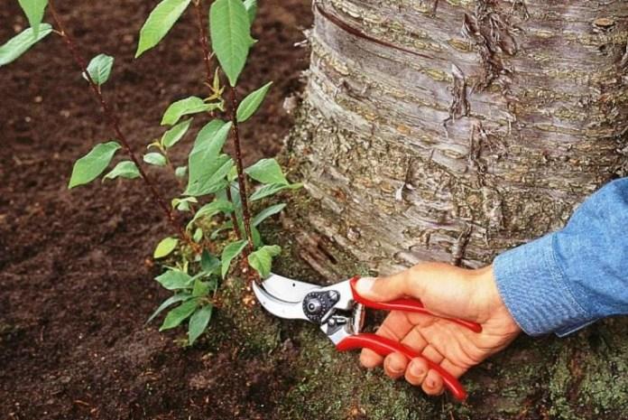 Как удалить поросль вишни