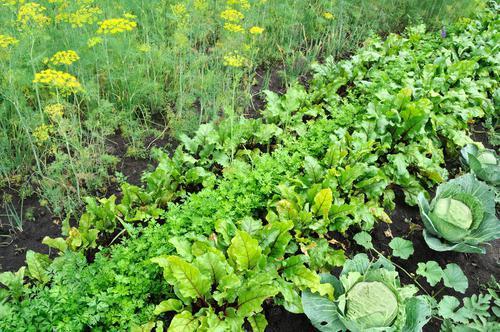 Подбираем предшественников для овощей