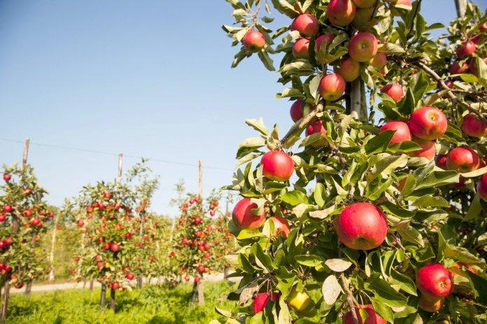 В плодовых садах растет популяция клещей
