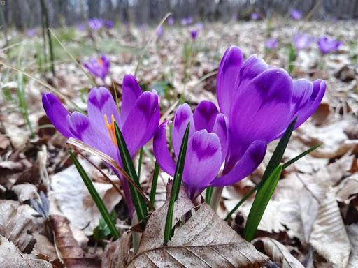 На Закарпатье цветет шафран
