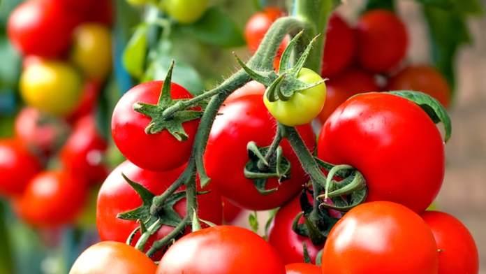 томати 1 тонна з сотки