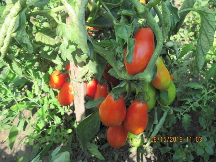 Когда и как следует высевать томаты для получения качественной рассады