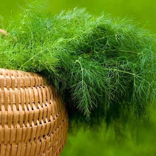 Как получить изумрудную зелень укропа