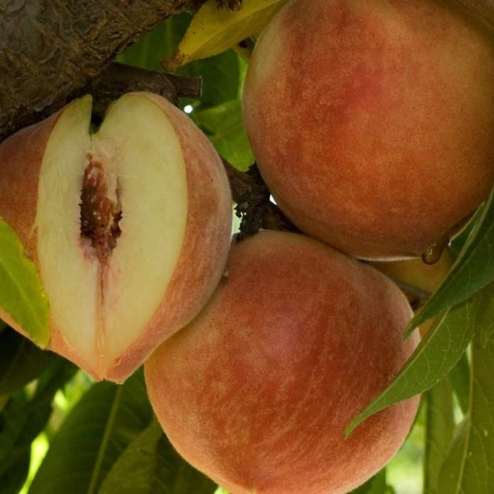 Как спасти урожай персиков от восточной плодожорки?