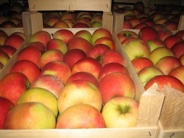 Почему яблоки плохо хранятся?