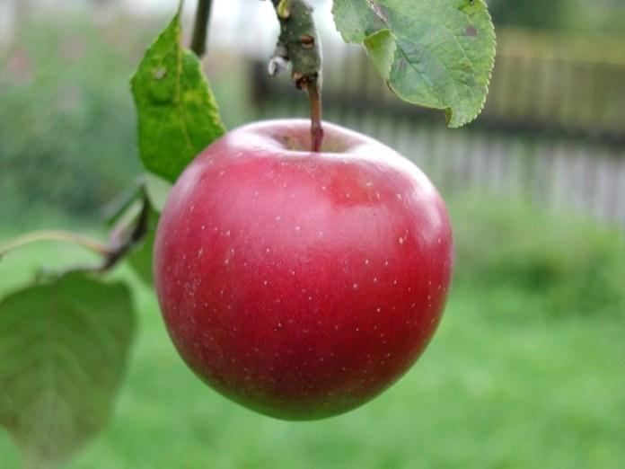 Новозеландские ученые вывели сорт яблок, который не боится аномальной жары и засухи
