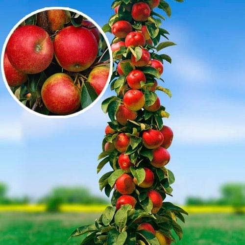 Преимущества и недостатки колоновидных яблонь