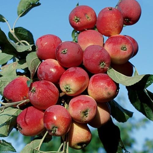 Лучшие сорта-опылители для яблони