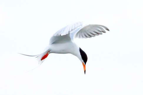 Galveston Tern by Ken Brennan