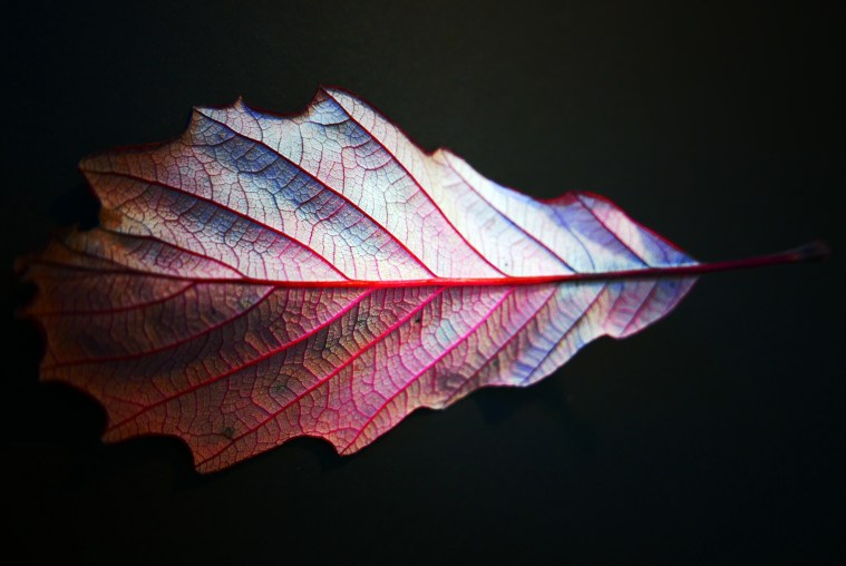 Red Leaf by Russ Morris