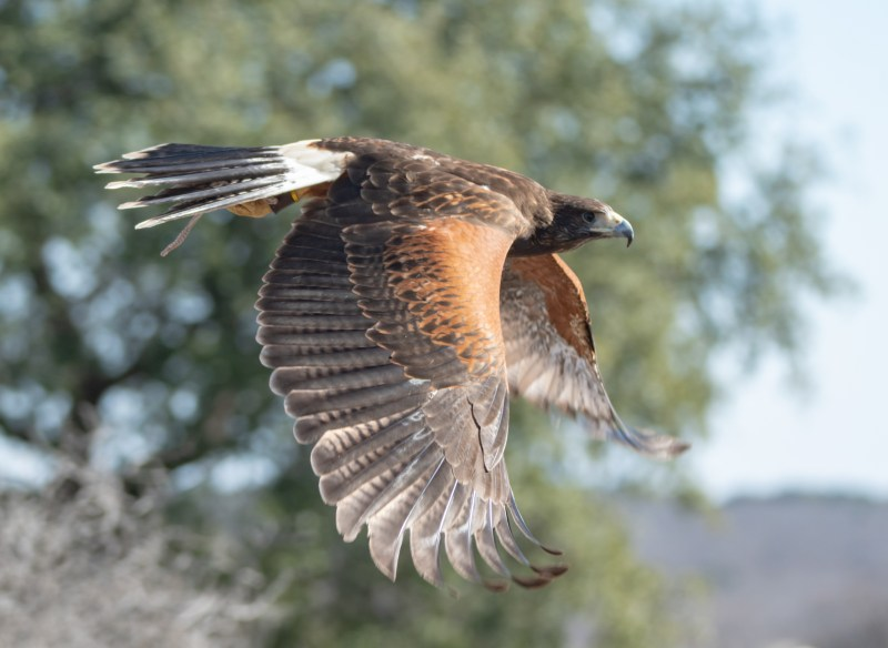 Dave DeVore - Harris Hawk flyby