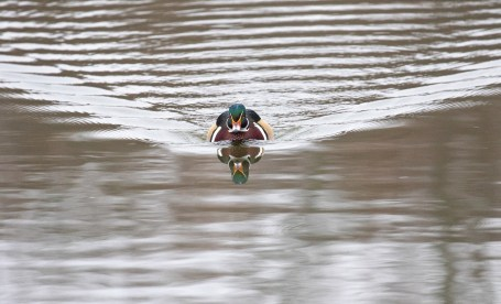 Mr. Wood Duck by Roberto White