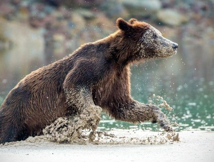 How Bears Exercise by Patti Mitchell